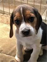 AKC Reg Beagle Pup for Sale